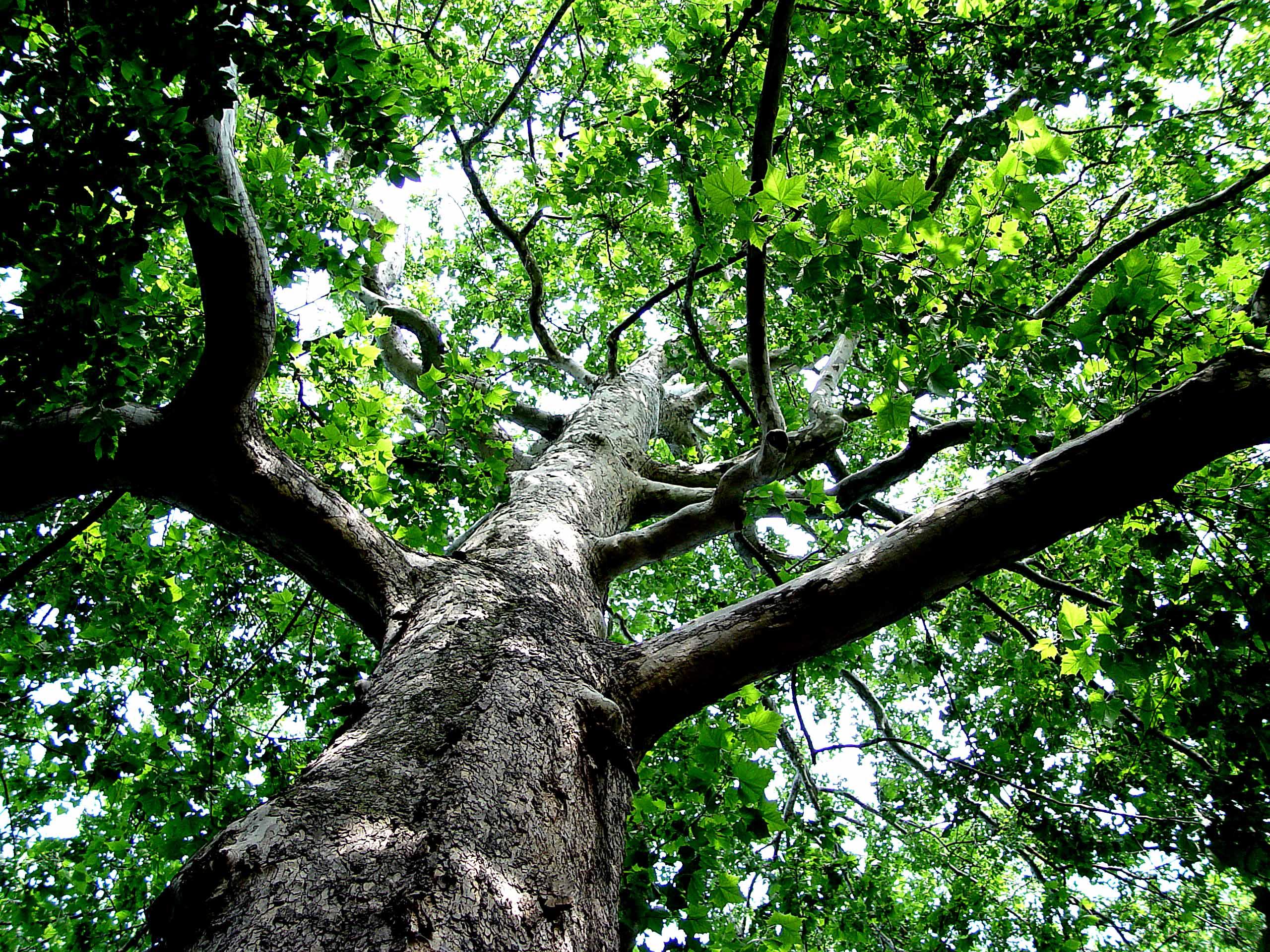 Storslaget träd